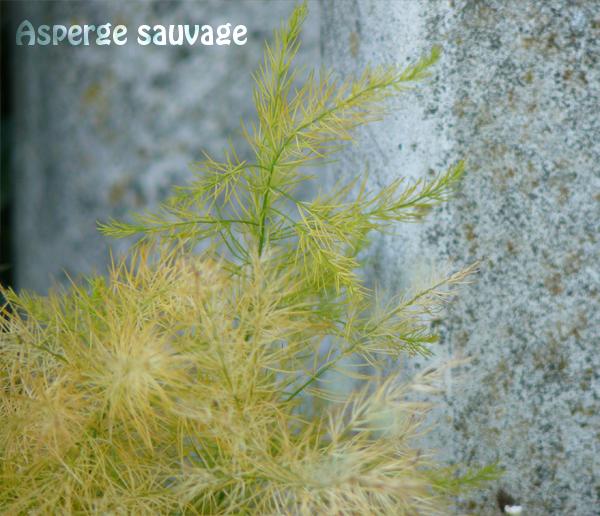 asperge-sauvage