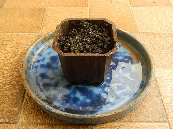 DIY  comment faire des semis des tomates  (3)