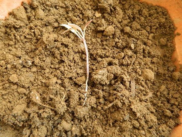 DIY  comment faire des semis des tomates  (6)