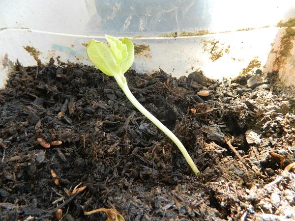 Que faire quand mes semis filent  (1)