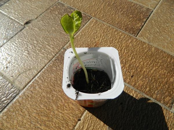 Que faire quand mes semis filent  (4)